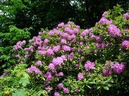 shrub rhododendron with pink flowers
