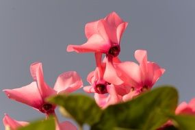 Pink cyclamen herbs nature flowers