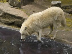white wolf drinking water in the zoo