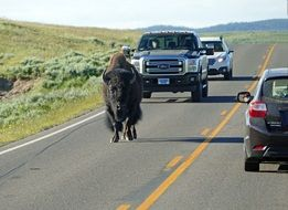 bison on a highway in wyoming