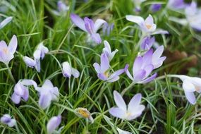 flowering crocus field