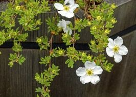 abbotswood potentilla in a wooden garden tub close up