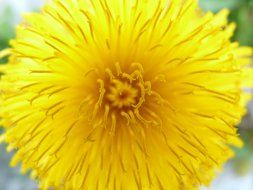 Yellow dandelion flower in the spring