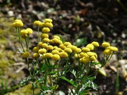bright yellow flowers of tansy