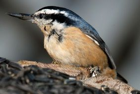 nuthatch bird in the wildlife
