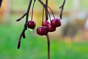 autumn cherry with water drops