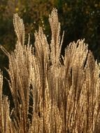 Miscanthus is a silver reed