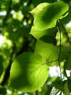 light green leaves of linden tree in the glare of light