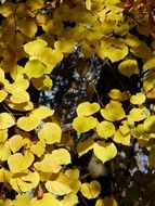 yellow leaves of linden autumn