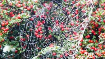 spider web on a bush with red berries
