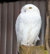 Snowy owl on the tree