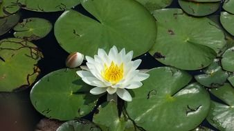 white waterlily among large green leaves on a pond closeup