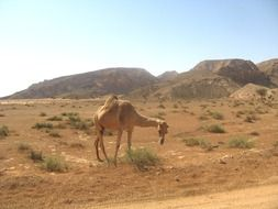 humped camel in the desert in dubai