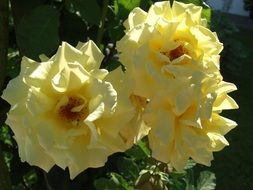 Yellow rose flowers in nature
