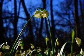 large snowdrops in the forest