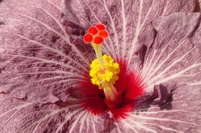 hibiscus is an exotic flower