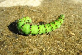 a thick green caterpillar on a stone