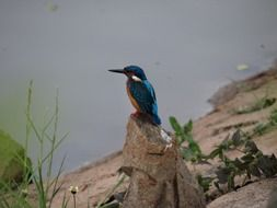 small blue kingfisher on stone at water