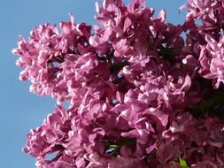 lilac common ornamental shrub