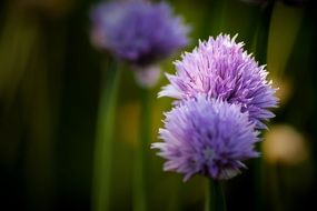 purple flowering green onions