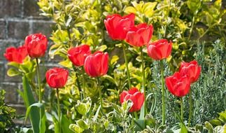 red tulip flowers sunny scenic