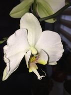 blooming tropical white orchid