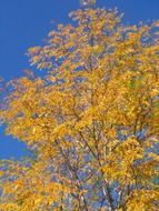 aspen yellow trees