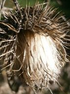 milk thistle silybum