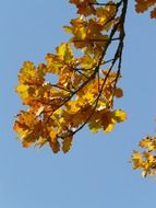 oak leaves on a branch in a sunny day