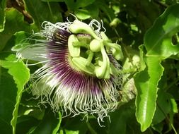 passiflora in the sun