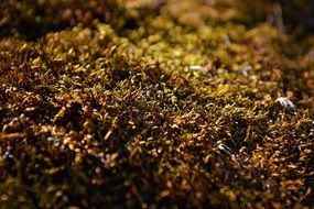 Brown moss macro photo