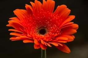 orange gerbera on a dark background
