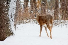 male white tailed deer in winter forest