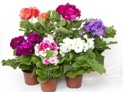 colorful flowers in a pots