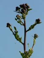 picture of the creeping thistle