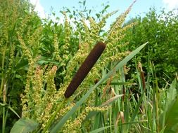 reed nature grass