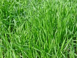 green fresh lawn grass