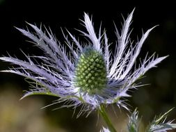 blue thistle flower closeup