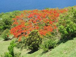 A tree with red flowers in the Caribbean