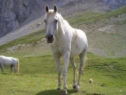 Beautiful white horses on Dolomites in South Tyrol