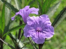 mexican petunia flowers purple