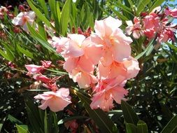 oleander mediterranean south bush
