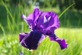 dark purple iris blossom