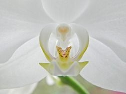 beautiful white orchid blossom macro