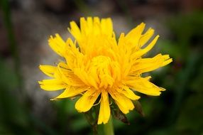Close-up of the yellow dandelion flower