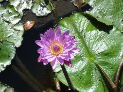 purple lily on a green leaf on a pond