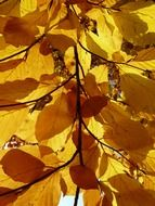Colorful autumn leaves of European beech