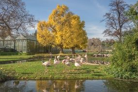 Flamingos in the park in golden autumn