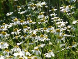 meadow wild daisies