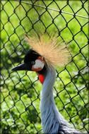 crowned crane in cage